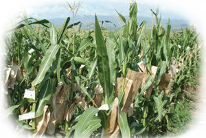 Hawaii_corn